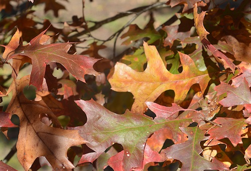 lg-resize-oak-leaves-detail