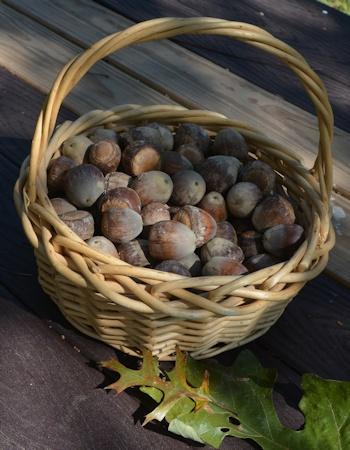 100-bur-oak-acorns-11-1-16