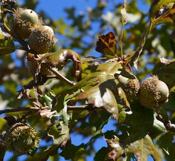 bur-oak-acorn-cluster-yg-tree-10-10-16